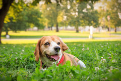 The cutest beagle puppy dog lying in the grass Royalty Free Stock Image