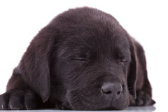 Labrador retriever puppy dog sleeping Royalty Free Stock Photo
