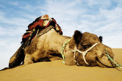 Cutest Camel Resting in the Desert Royalty Free Stock Photos