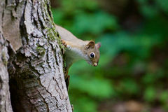 The cutest funny squirrel is playing in hide-and-seek Royalty Free Stock Image