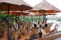 The cutest giraffes during safari Royalty Free Stock Photos