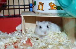 Cutest hamster ever. It's my cute dworf hamster Miki Royalty Free Stock Images