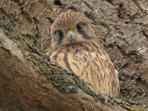 The cutest kestrel ever. Stock Images