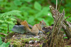 The cutest little squirrel is sitting on the stub Royalty Free Stock Images