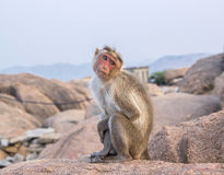 The cutest monkey in India Stock Image