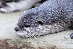 Cutest otter Stock Photography