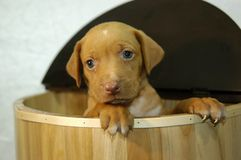 Cutest Puppy Ever Stock Photography