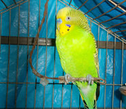 A cutet green budgie Royalty Free Stock Photography