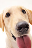Cutey Labrador Royalty Free Stock Image
