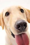 Cutey Labrador Imagen de archivo libre de regalías