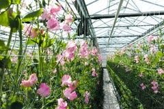 Cuthbertson-Mischung, Spenser-Art bunte geschnittene Blumen der Edelwicken kultiviert als dekorative oder dekorative Blume, herei lizenzfreies stockfoto