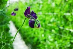 Cuthbertson-Mischung, Spenser-Art bunte geschnittene Blumen der Edelwicken kultiviert als dekorative oder dekorative Blume, herei stockfotos