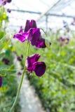 Cuthbertson-Mischung, Spenser-Art bunte geschnittene Blumen der Edelwicken kultiviert als dekorative oder dekorative Blume, herei stockfotografie