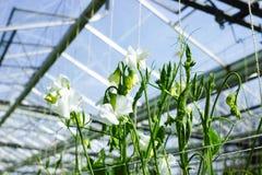 Cuthbertson-Mischung, Spenser-Art bunte geschnittene Blumen der Edelwicken kultiviert als dekorative oder dekorative Blume, herei lizenzfreie stockfotos