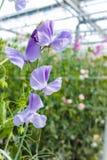 Cuthbertson-Mischung, Spenser-Art bunte geschnittene Blumen der Edelwicken kultiviert als dekorative oder dekorative Blume, herei stockbild