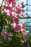 Cuthbertson-Mischung, Spenser-Art bunte geschnittene Blumen der Edelwicken kultiviert als dekorative oder dekorative Blume, herei lizenzfreie stockbilder