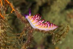 Cuthona sibogae Nudibranch,海参 免版税图库摄影
