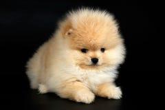 Cutie德国人Pomeranian在黑背景的波美丝毛狗小狗 图库摄影
