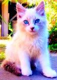 Cutie blåögd ragdollkattunge arkivbilder