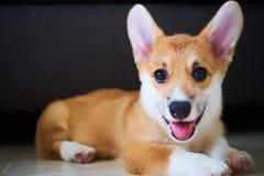 Cutie Corgi. Just a cute corgi sitting and staring at you stock image