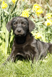 Cutie labrador Puppy in the daffodils. Royalty Free Stock Image
