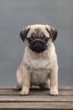 Cutie del cane del carlino Fotografia Stock Libera da Diritti