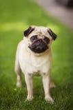 Cutie del cane del carlino Fotografie Stock