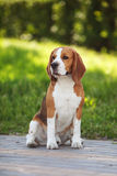 Cutie del perro del beagle Fotografía de archivo libre de regalías
