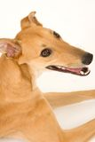 Cutie Dog. A tan greyhound portrait looking at camera against a white background royalty free stock images