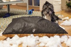 Cutie dog with ripped up cushion. Restless cutie dog after ripping up a cushion stock photos