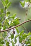 Cutie Juvi更加伟大的绿色Leafbird 免版税库存照片