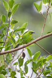 Cutie Juvi Greater Green Leafbird. A Juvenile Greater Green Leafbird taking a rest at the fruiting tree branch Royalty Free Stock Photo