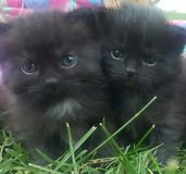 Cutie keliga kattungar Arkivfoto