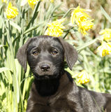 Cutie labrador Puppy in the daffodils. Royalty Free Stock Photos