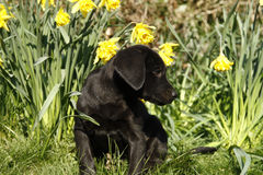 Cutie labrador Puppy in the daffodils. Stock Photos