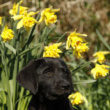 Cutie labrador Puppy in the daffodils. Royalty Free Stock Photography