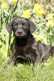 Cutie labrador valp i påskliljorna. Royaltyfri Bild