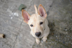 Cutie little Thai dog Royalty Free Stock Photography