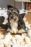 Cutie and naughty dog with ripped up cushion. Cutie dog after ripping up a cushion royalty free stock photography