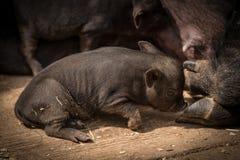 Cutie Piggy Royalty-vrije Stock Afbeelding