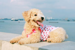 Cutie Poodle Dog. Sitting balustrade at seaside Royalty Free Stock Photo