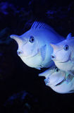 Cuties. Three cute fishes in great wonder Royalty Free Stock Photos