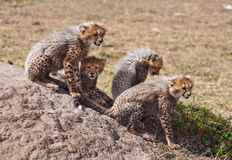 Cuties. Cheetah cubs, Masai Mara National Park, Kenya Stock Photos