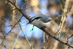 Cutious nuthatch stock photos