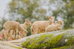 Cutle little lambs. On a rock stock photo