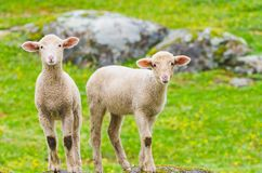 Cutle little lambs. On a rock royalty free stock image