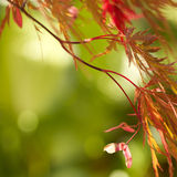 cutleaf日语留下槭树红色 免版税库存照片