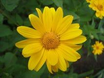 Cutleaf coneflower żółty kwiat (rudbeckia) Zdjęcia Stock