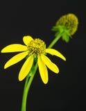 Cutleaf Coneflower close up on black background. Clase up of yellow Cutleaf Conflower on  black background. Rudbeckia laciniata. AKA Green-headed Coneflower Stock Photography