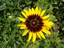 Cutleaf coneflower (rudbeckia) yellow and dark-red flower Royalty Free Stock Image